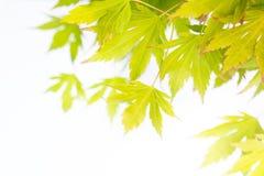 鲜绿色的鸡爪枫离开背景 免版税库存图片