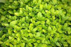 鲜绿色的黄杨木潜叶虫墙纸背景 免版税库存图片