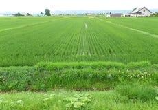 鲜绿色的稻田在一个小村庄,北海道 免版税库存照片