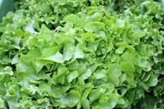 鲜绿色的莴苣叶子,农夫的市场 免版税库存照片