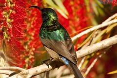 鲜绿色的sunbird 免版税库存图片