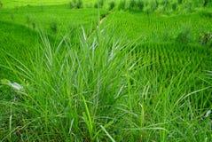 鲜绿色草和米领域 免版税库存图片