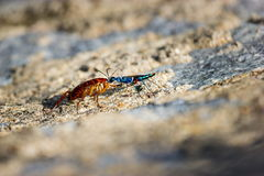 鲜绿色蟑螂黄蜂 库存照片