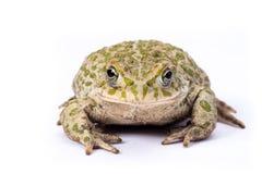 鲜绿色蟾蜍 免版税库存图片