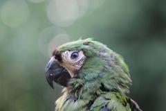 鲜绿色金刚鹦鹉 库存图片