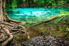 鲜绿色水池和树根 库存图片