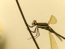 鲜绿色蜻蜓2 库存照片