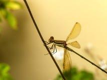 鲜绿色蜻蜓3 库存照片
