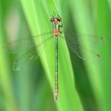 鲜绿色蜻蜓(Lestes sponsa) 免版税图库摄影