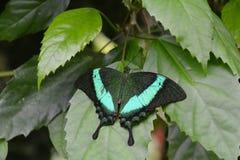 鲜绿色Swallowtail蝴蝶 免版税库存图片