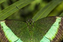 鲜绿色Swallowtail蝴蝶 免版税图库摄影