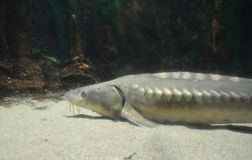 鲟鱼鱼 库存照片