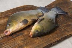 鲤属鱼-丁鲷丁鲷 库存图片