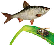 鲤科小鱼钓鱼和在水草的划蝽 库存图片