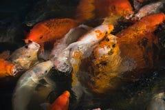 鲤鱼五颜六色的koi池塘 免版税库存图片