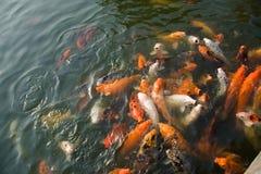 鲤鱼五颜六色的koi 免版税库存照片