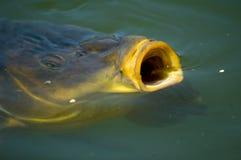 鲤鱼吃 库存图片