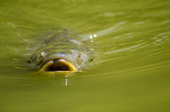 鲤鱼在绿色水中 库存图片
