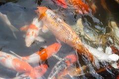 鲤鱼或花梢鲤鱼,鱼 免版税库存照片