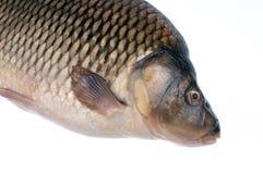 鲤鱼摄影 免版税库存图片