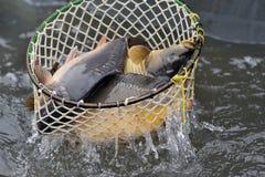 鲤鱼收获 免版税库存照片
