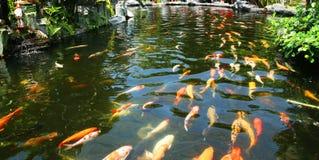鲤鱼日本koi池塘 免版税库存图片