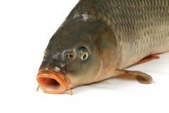 鲤鱼是传统捷克圣诞节食物。 鲤鱼食用鲜美饮食肉。 免版税图库摄影