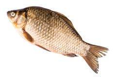 鲤鱼查出的白色 图库摄影