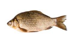 鲤鱼查出的白色 免版税库存图片