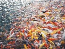 鲤鱼游泳在池塘 库存照片