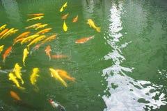 鲤鱼游泳 库存图片