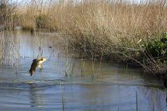 鲤鱼跳实际 免版税库存图片