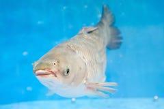 鲤鱼银 图库摄影