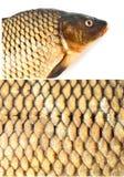 鲤鱼饮食鱼,鳞 免版税库存图片
