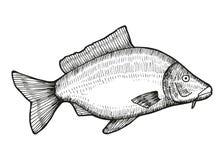 鲤鱼鱼传染媒介 库存照片