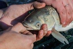 鲤鱼鱼在人的手上 免版税库存图片