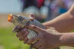 鲤鱼鱼在人的手上 免版税库存照片