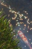 鲤鱼鱼在有硬币的池塘 免版税库存照片