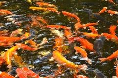 鲤鱼鱼在被弄脏的水中 免版税库存照片