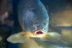 鲤鱼鱼在水族馆或水库ubder水中 免版税库存照片