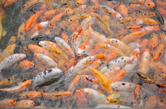 鲤鱼鱼大量  免版税库存图片