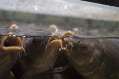 鲤鱼鱼 在两个女朋友之间的一次交谈 免版税库存照片