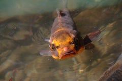 鲤鱼鱼koi装饰物池塘 图库摄影
