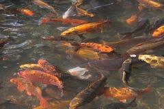 鲤鱼鱼koi装饰物池塘 免版税库存图片