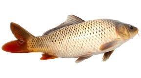 鲤鱼 库存图片