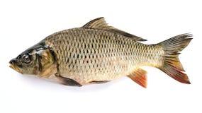 鲤鱼 免版税图库摄影