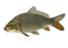 鲤鱼 免版税库存照片