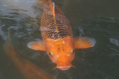 鲤鱼 库存照片
