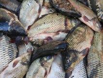 鲤鱼carpio公用鲤属查出的白色 免版税库存图片