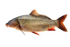 鲤鱼carpio公用鲤属查出的白色 免版税库存照片